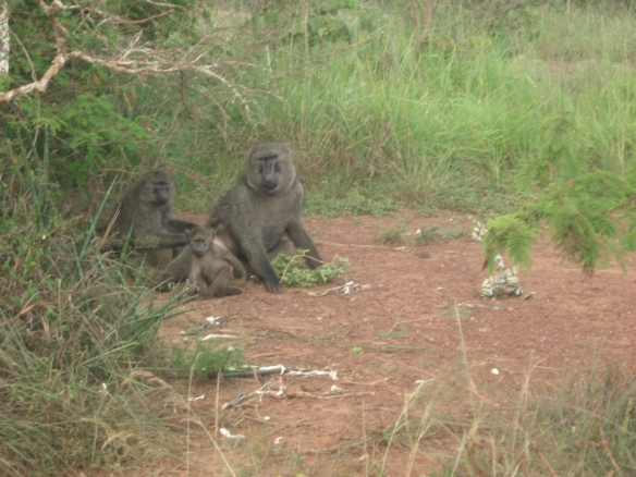 baboons together
