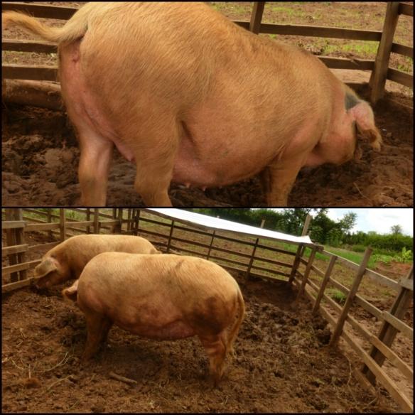 pregnant pigs?